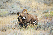 Bighorn sheep fighting during the December rut in Jackson Hole Wyoming
