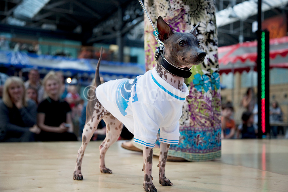 American Hairless Terrier. Paw Pageant dog show at Spitalfields Market, London. Local people enter their dogs into the Shoreditch Unbound Festival Dog Show to win prizes and to show off their pets. Prizes and categories included: Dead Ringer, Dressed Up to the K-Nines, Fugliest Dog (meaning funny / ugly), Shoreditch Show Off, Paw-fection, Best in Ditch, Best Bitch in the Ditch.