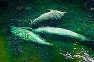 Wildlife - Manatee