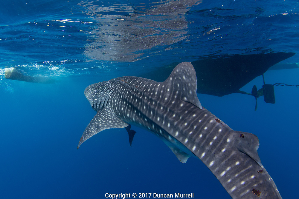 Whale shark (Rhincodon typus) approaching a banca boat, Honda Bay, Palawan, the Philippines, Sulu Sea