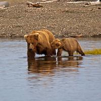 USA, Alaska, Katmai. Grizzly cub nursing.