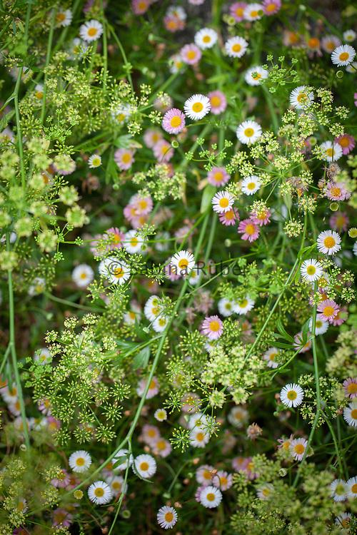 Erigeron karvinskianus & Petroselinum crispum