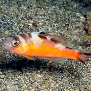 Caribbean Sea Bass/Bass