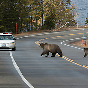 A female grizzly bear (U.s. horribilis) and her cub of the year cross the street in front of a ranger car. Yellowstone National Park