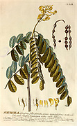 Coloured Copperplate engraving of a Sophora tree from hortus nitidissimus by Christoph Jakob Trew (Nuremberg 1750-1792)