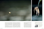 Magazine natur 07/2012 publishes Solvin's story on Tisza blooming (Tiszavirágzás). It is when millions of long-tailed mayflies (Palingenia longicauda) are rising in huge clouds, reproduce, and perish, all in just a few hours.