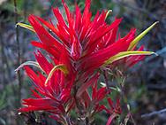 Indian paintbrush, wild flower, Sedona, Arizona