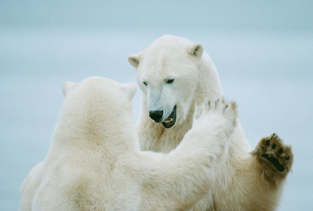 Polar Bears play-fighting, Ursus maritimus, Churchill, Canada, Arctic