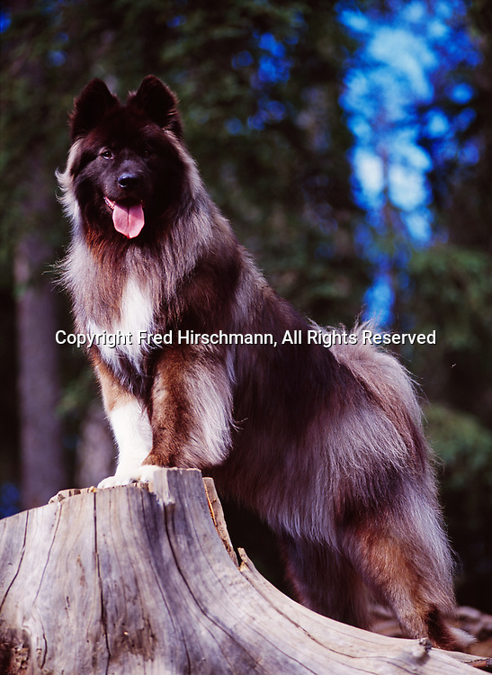 """Akita, Long Haired, AKC, 4-year-old """"Bear"""" photographed in Anchorage and owned by Deb Brown of Anchorage, Alaska."""