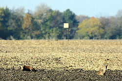 10 November 2007: A buck Whitetail deer lies near a doe in a plowed field near Comlara Park, McLean County, Illinois
