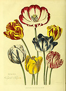 Tulipa - Tulips from Vol II of the book The universal herbal : or botanical, medical and agricultural dictionary : containing an account of all known plants in the world, arranged according to the Linnean system. Specifying the uses to which they are or may be applied By Thomas Green,  Published in 1816 by Nuttall, Fisher & Co. in Liverpool and Printed at the Caxton Press by H. Fisher