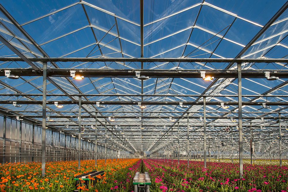 """Production des gerberas par holsteinflowers, De Lier, http://www.holsteinflowers.nl<br /> 49,000 m2 de serres. ?? collaborateurs. Existe depuis ??.<br /> 80 espèces de gerberas fleuries sont produits ici. Les plantes sont exposées dans des serres construites par http://www.technokas.nl. <br /> Région Westland, Pays-Bas. <br /> Westland est la région  aux Pays-Bas où des fleurs et plantes poussent dans des énormes serres  robotisées et automatisées. On appelle cette région aussi """"la ville de verre"""". Ces serres sont des véritables usines à fleurs et plantes, avec une production constante et quotidienne, dont une grande partie est destinée à l'exportation."""