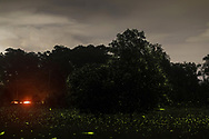 Middletown, New York - Fireflies gather in a field and around a tree on July 7, 2017. The photograph is a combination of many exposures.