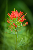 This common Indian paintbrush can be found all over the Pacific Northwest. This one was found growing in a mountain stream in Oregon just south of Mount Hood.
