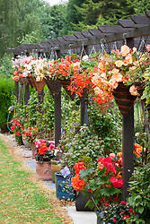 The begonia trial at Capel Manor