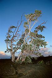 `Ohi`a or Ohia Lehua, Metrosideros polymorpha, the official flower of the Big Island, one of the pioneer plants grows on bare lava rocks, Hawaii Volcanoes National Park, Kilauea, Big Island, Hawaii