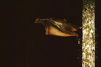 A Sunda flying lemur also known as a Colugo (Galeopterus variegatus) pushing off from a tree to glide.  This image is the first of a sequence with 657930 being the next frame.