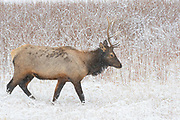 A bull elk (Cervus canadensis) walks in a snow-covered field near Madison in Yellowstone National Park, Wyoming.