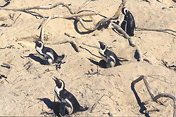 African Penguins Sitting On Nests