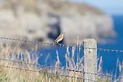 Northern wheatears (Oenanthe oenanthe) gathered along South West Coast Path. Dorset, UK.
