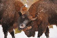 European bison (Bison bonasus) Bialowieza forest, Poland.