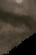 A Brahminy Kite (Haliastur indus) hunting bats leaving Gomantong Caves at Dusk, Sabah, Malaysian Borneo.