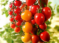Selection of fresh red and yellow tomatoes and plum tomatoes food photography