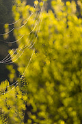 Power lines, afternoon light, April, bigleaf maple (Acer macrophyllum), Morse Creek area, Clallam County, North Olympic Peninsula, Port Angeles, Washington, USA