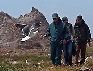 A Western seagull protects a nesting site as visitors to Southeast Farallon Island move along a footpath during a tour of the  Farallon National Wildlife Refuge, May 12, 2005.  The island is the primary breeding gorund for 30% of California's seagull population.