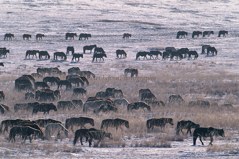 Domestic horses<br /> Being moved to spring grazing grounds<br /> Khustain Nuruu National Reserve<br /> Mongolia