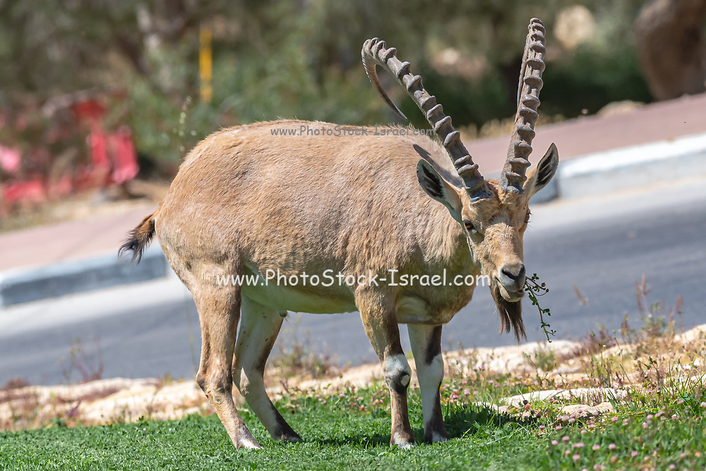 Close up of a large mature male Ibex (Capra ibex nubiana) Photographed in Mitzpe Ramon, Negev, Israel