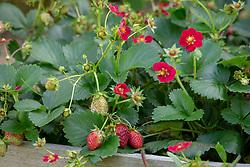 Fragaria x hybrida 'Ruby Ann'. Strawberry