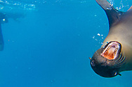 Snorkeling at Champion Islet near Floreana Island, Galapagos National Park, Galapagos, Ecuador
