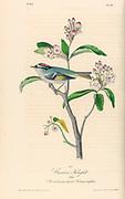 Male Regulus Kinglet on a Broad-leaved kalmia or laurel. Kalmia latifolia. By Audubon, John James, 1785-1851 engraved by Havell, Robert, 1793-1878