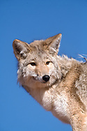 Coyote looks back as wind ruffles the fur on its back, blue sky background. [captive, controlled conditions] © David A. Ponton