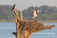 00783-02103 Osprey (Pandion haliaetus) landing at nest with fish Rend Lake Jefferson Co. IL
