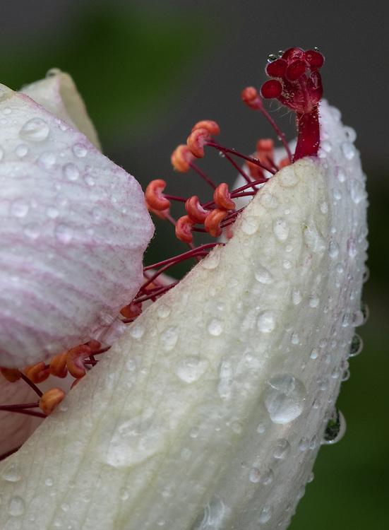 Hibiscus Water Birth