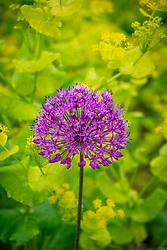 Allium hollandicum 'Purple Sensation' AGM with Smyrnium perfoliatum - Perfoliate alexanders