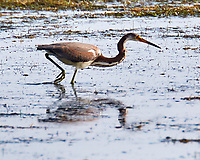 Tricolored Heron (Egretta tricolor). Fort De Soto Park. Pinellas County, Florida. Image taken with a Nikon D300 camera and 200 mm f/2 VR lens.