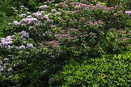 Asticou Azalea Gardens in Northeast Harbor, Maine, USA