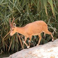 Fauna - Ibex