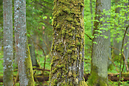 Old mixed conifer and broadleaf forest in the Punia forest reserve, not logged or hunted in for more than 70 years, Lithuania