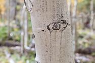 Aspen trunk, North Rim, Grand Canyon, Kaibab National Forest, AZ