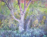 Subdued Evening Light on Autumn Cottonwood Tree in Escalante Canyon, Utah