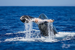 Humpback Whale with severely injured fluke (due to entanglement with heavy fishing gears or a boat strike?), Megaptera novaeangliae, Hawaii, USA, Pacific Ocean