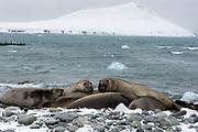 Southern elephant seals (Mirounga leonina) at Turret Point, King George Island,  South Shetland Islands, Antarctica. Penguin Island in the background.