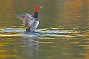 Redhead Duck, Aythya americana, male, flapping wings, sunset reflection in water, Lakewood, Colorado aquatic-birds close-ups details fowl free independence natural-world ornithology untamed water waterfowl web-footed wild Zoology