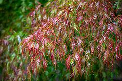 Acer palmatum 'Seiryu' AGM - Japanese maple