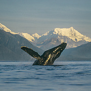 """This was a breaching whale that left an unforgettable visual imprint in my memory for all time. I was camped in Icy Strait where there are usually many humpback whales, and the scenery is incredible, with a fantastic backdrop of the massive Fairweather Mountain Range bordering Glacier Bay. It was a beautiful, flat-calm, sunny morning and one whale had got off to a flying start. It was breaching repeatedly and I got off to an early start to try to catch up with it on the other side of Icy Strait. <br /> Unfortunately by the time I got there it had stopped breaching, as always seemed to happen. I continued to paddle my kayak on that beautiful peaceful morning, gliding across the mirror-calm sea with the sound of the water dripping from my paddles amplified by the stillness. Then suddenly without any warning I could """"feel"""" something erupting out of the water nearby so I spun around trying to locate the source of the disturbance. Glancing over my shoulder my view of the rising sun was eclipsed by the massive silhouette of the whale leaping out of the water, just a few metres behind my kayak; it had an auro of the sun's rays around it like a religious icon. My jaw dropped with astonishment, and my heart must have skipped a few beats; and before I could react to protect myself or my camera there was a massive thud when the whale struck the water and I was drenched by a whale-sized, icy cold shower: I suddenly felt very small and vulnerable in my kayak. I had experienced the whales so many times at close quarters, but it's not until you can actually view one in its entirety hovering above you that you can really appreciate the scale of a whale!"""