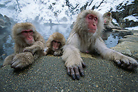 A group of Japanese macaques soaking in a hot spring.